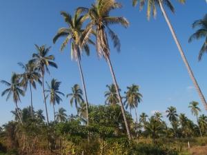 Veel palmbomen in San Blas